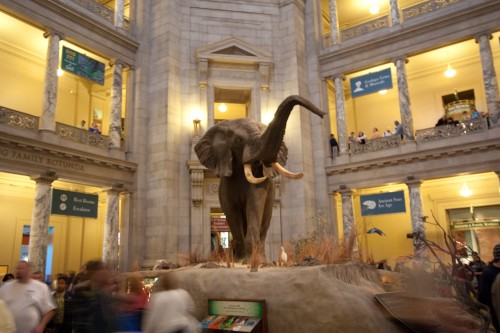 Elephant in the Museum of Natural History