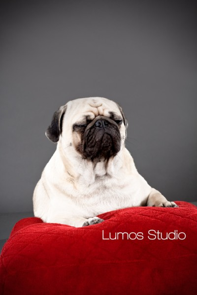 Pug poses for his portrait on a red velvet pillow