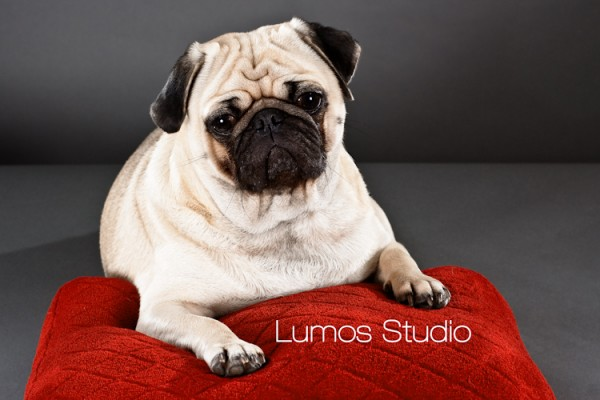 Pug looks wistful posing on a red velvet pillow