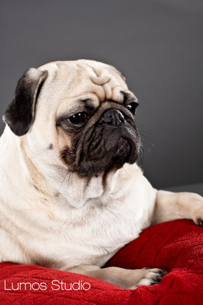Thoughtful pug on red velvet pillow