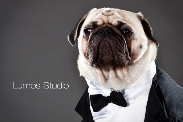 Pug in a tuxedo kind of looks like Winston Churchill