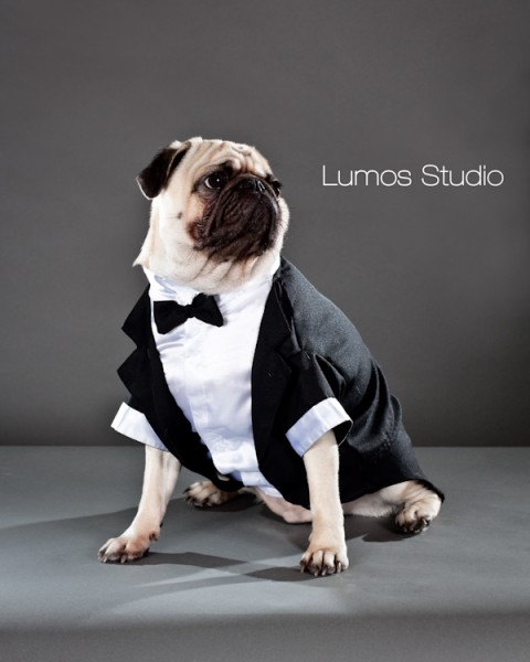 Pug in a tuxedo poses for his portrait