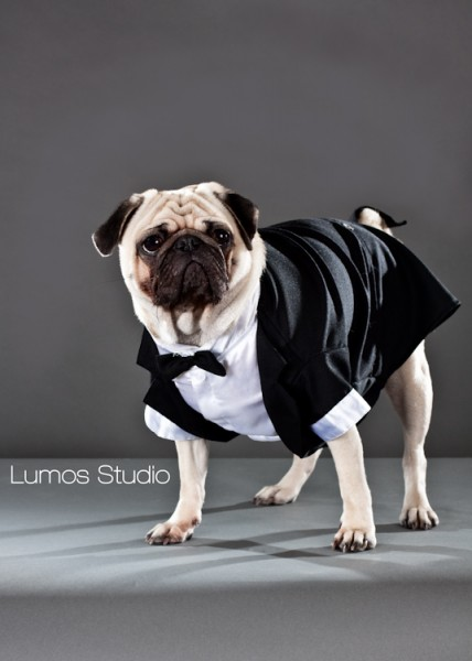 Pug in a tuxedo has tails on either side of his tail