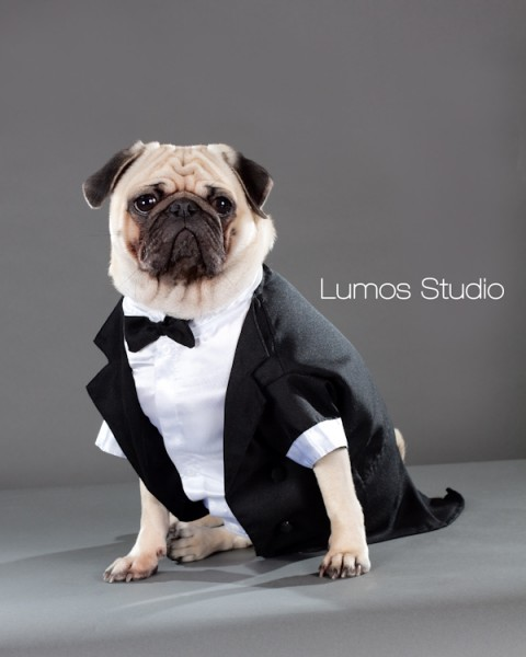 Pug in a tuxedo lounges