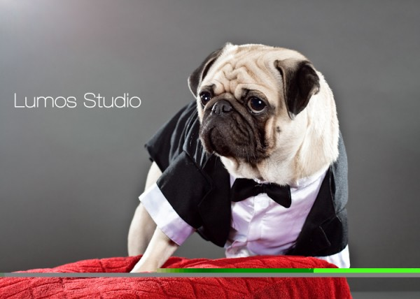 Pug in a tuxedo on a red velvet pillow