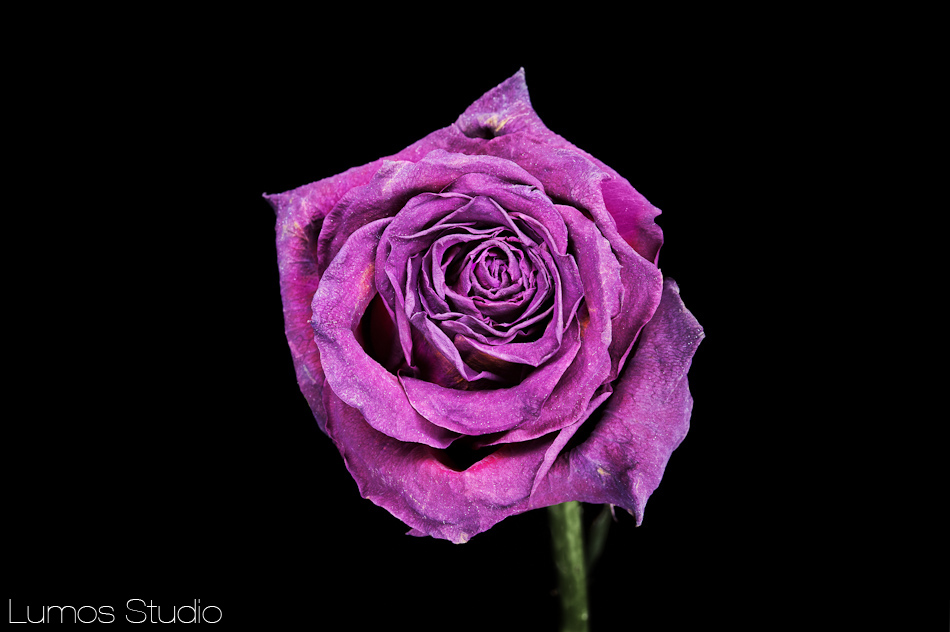 Photograph of a purple rose
