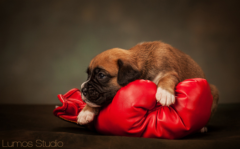 Boxer puppy with boxing glove