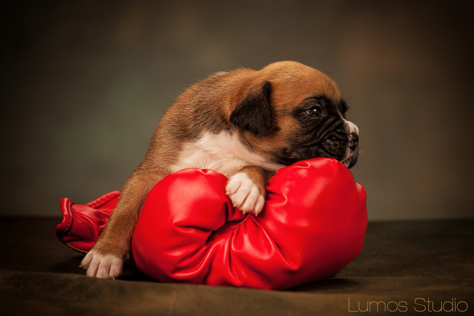 Boxer puppy resting his head on a boxing glove